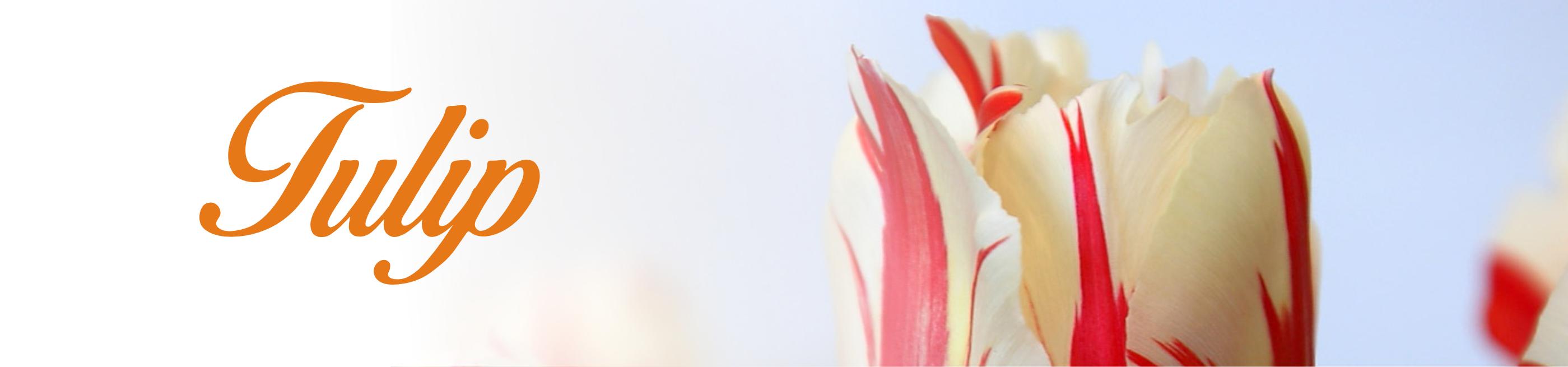 baner tulip
